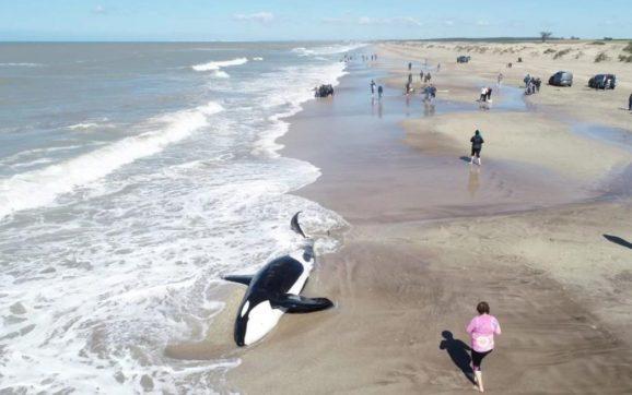 El biólogo marino Luciano Izzo contó cómo fue el rescate de las orcas en Mar Chiquita